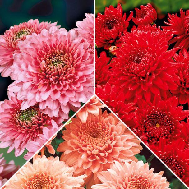 Set-Preis: 9 x Chrysanthemen