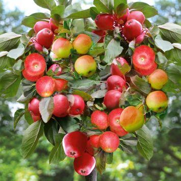 'Happy Family' – der Apfel-Familienbaum