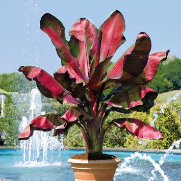 Rotblättrige Zierbanane 'Musa Red'
