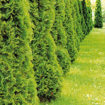 Smaragd-Thuja Heckenpflanzen