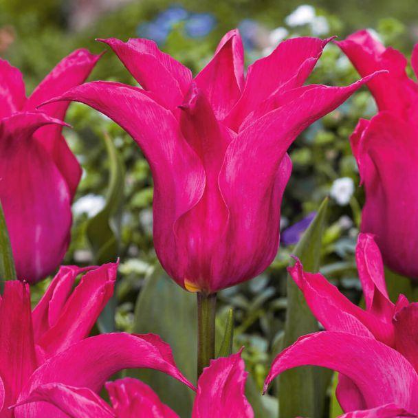 Tulpe Oriental Pearl