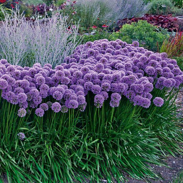 Staude 'Allium Millenium'