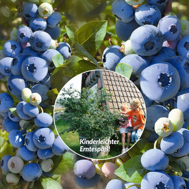 Trauben-Heidelbeere 'Blue Berry®'