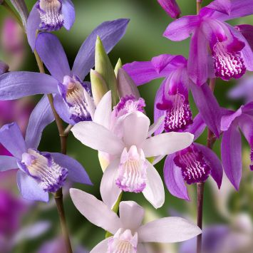 Japanorchideen-Mix Bletilla