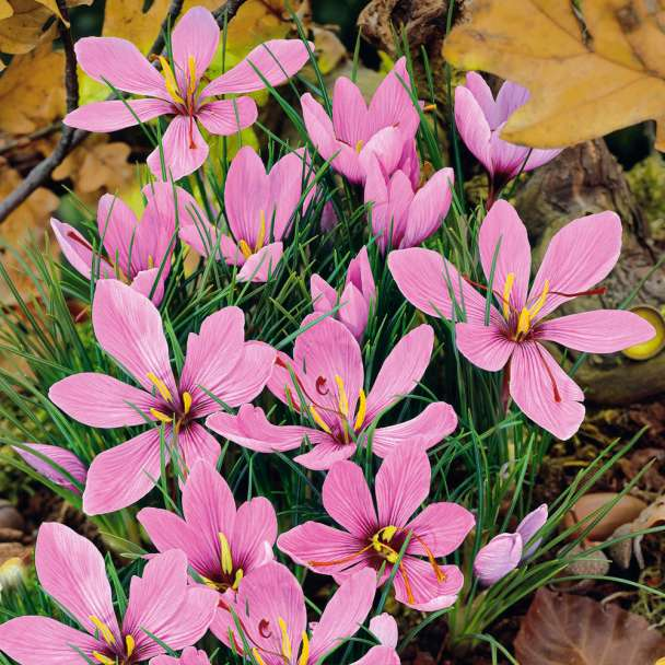Krokus Safran - Blumenzwiebeln