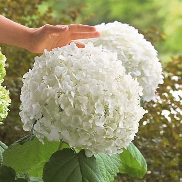 Riesen-Garten-Hortensie 'Incredible®'