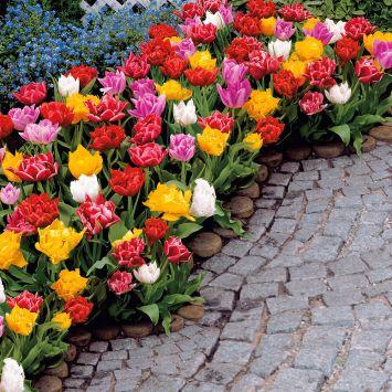 25 Dichtgefüllte, frühe Edel-Tulpen