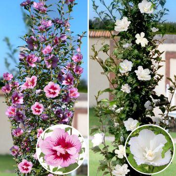 Set-Preis Säulen - Hibiskus: 1 x 'Purple Pillar' und 1 x 'White Pillar'