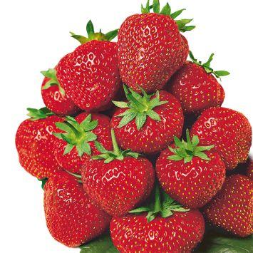 Erdbeere 'Senga®-Sengana®', mittelfrüh