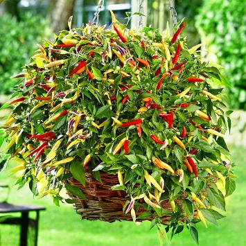 Hänge-Paprika 'Volante®' Hot Red