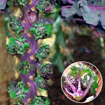 'Flower Sprout®' - bunte Pflück-Röschen