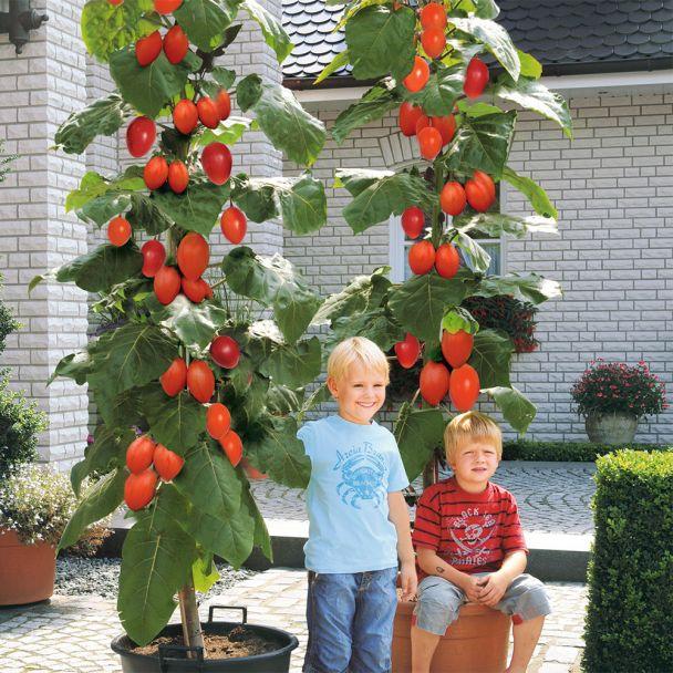 Riesen-Baum-Tomate 'Grandiccio®'