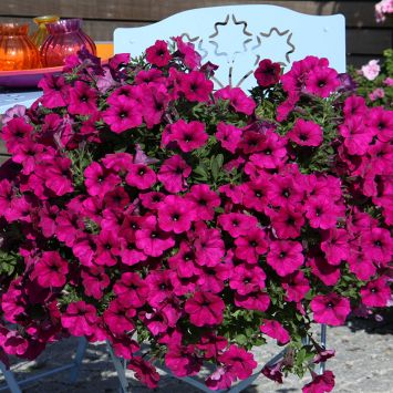 AlpeTunia® Dark Purple