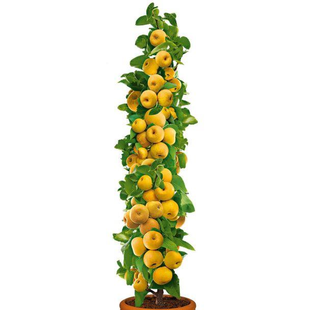 Säulenobstbaum Champagner-Birnen-Apfel 'ProSecco'®, zweijährig