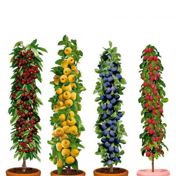 Säulenobst Victoria, ProSecco®, Imperial und Ruby im Set (SA. 4)