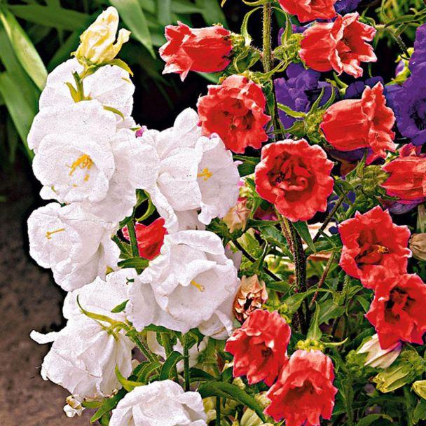 Glockenblumen, weiß