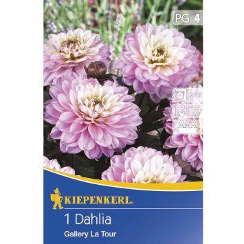 Kübel-Dahlie La Tour