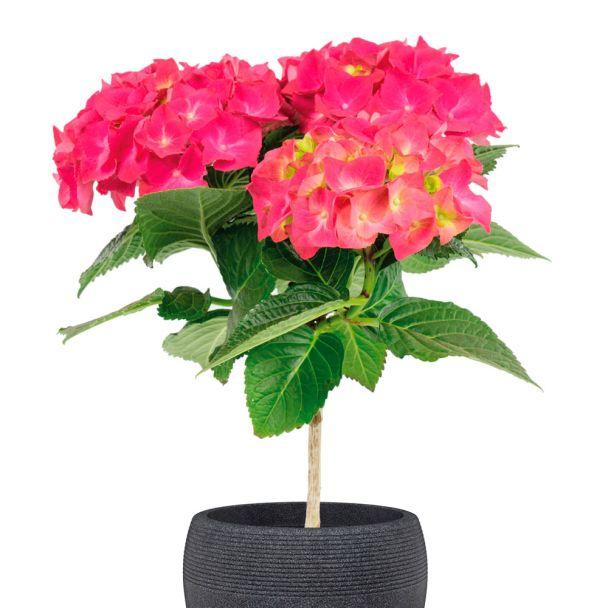 Hortensien-Stämmchen, rot
