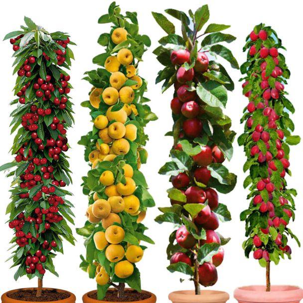 4 Säulen-Bäume: Rubina, Prosecco, Redcats, Ruby