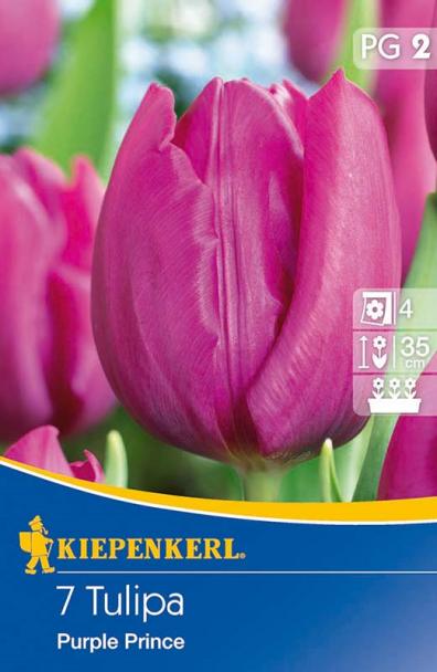 Einfache frühe Tulpe `Purple Prince` - Blumenzwiebel