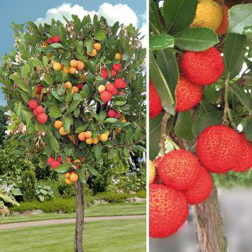 Erdbeerbaum auf Stamm