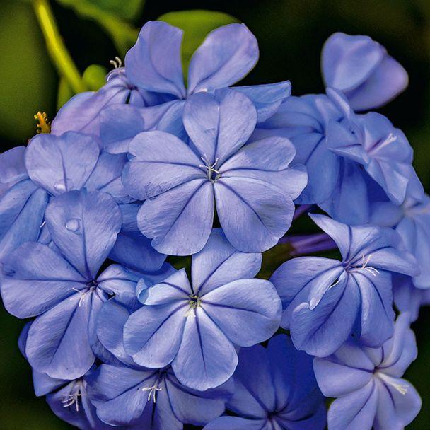 Phlox blau
