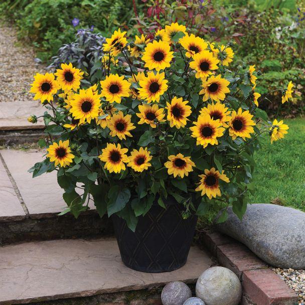 Sonnenblume SUNbelievable™