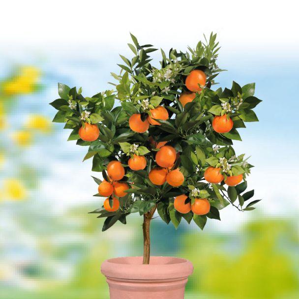 Echter Orangenbaum 'Palermo'