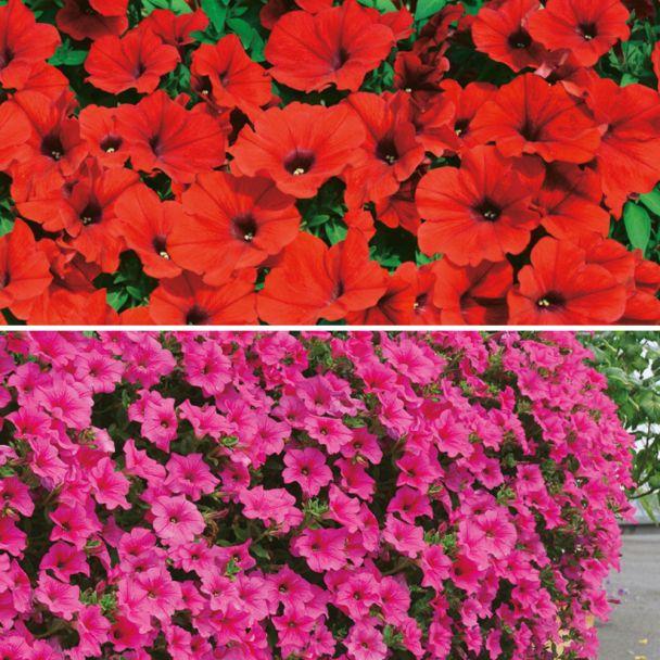 Petunien: 3 Deep Red und 3 Hot Pink
