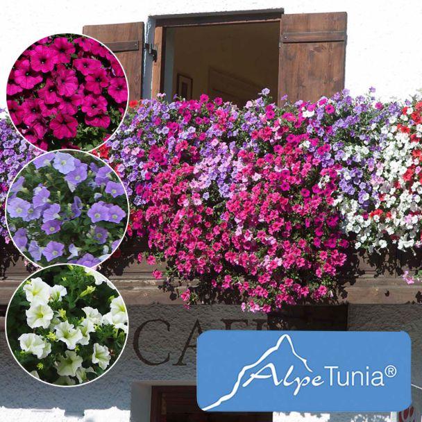 Sparset: 9 AlpeTunia® 3 Purple, 3 Blue, 3 White