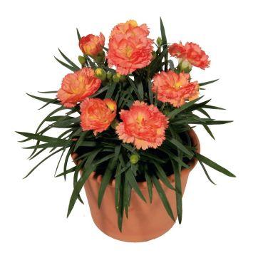 Super Trouper® Garten-Nelken 'Sorbet'