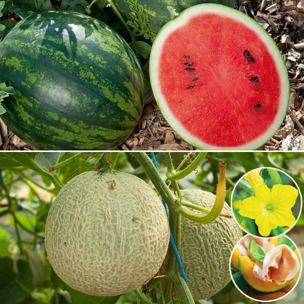 Set-Preis: 1x Mini Love und 2x Mini Honig-Melone