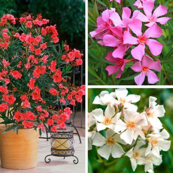Set: 3 Oleander, je 1x in Pink, Weiß, Rot
