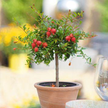 Granatapfel-Stämmchen