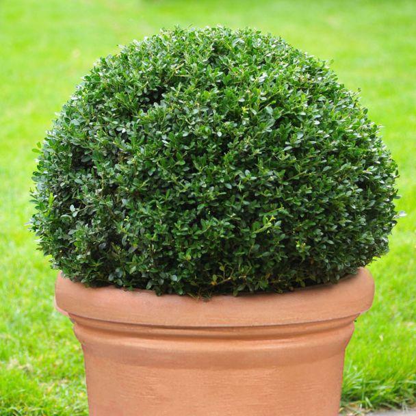 Ilex 'Dark Green' Kugel