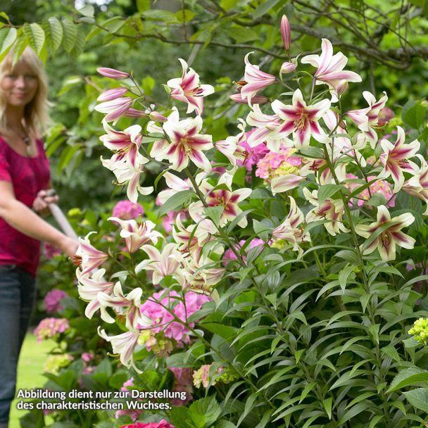 Riesen-Baum-Lilie 'Satisfaction'