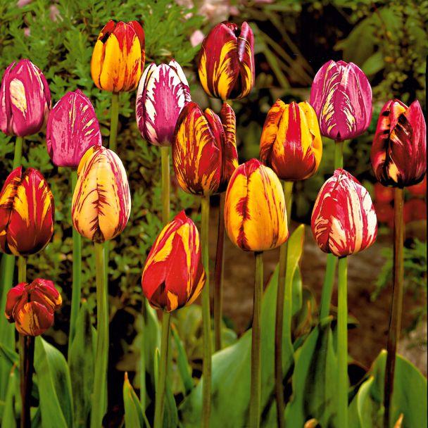 25 Rembrandt-Tulpen