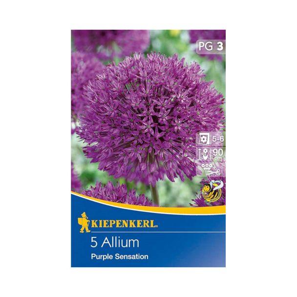 Zierlauch Allium 'Purple Sensation'