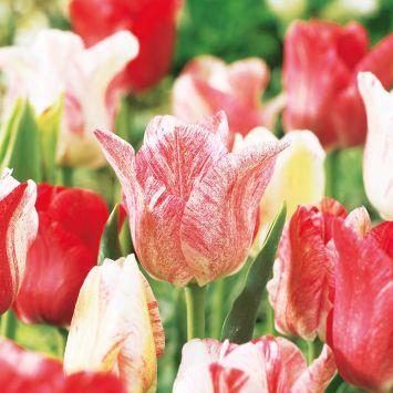 Tulpe Magic
