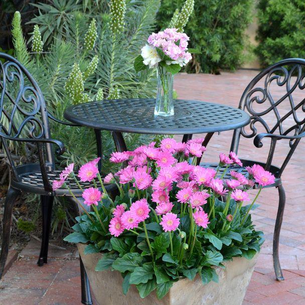 Winterharte Gerbera 'Garvinea®', rosa