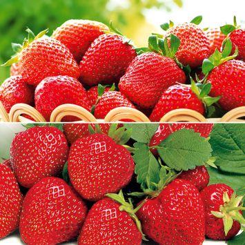 Edel-Duo: 50 Erdbeerpflanzen als Setzlinge