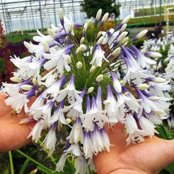 Agapanthus Fireworks Flower