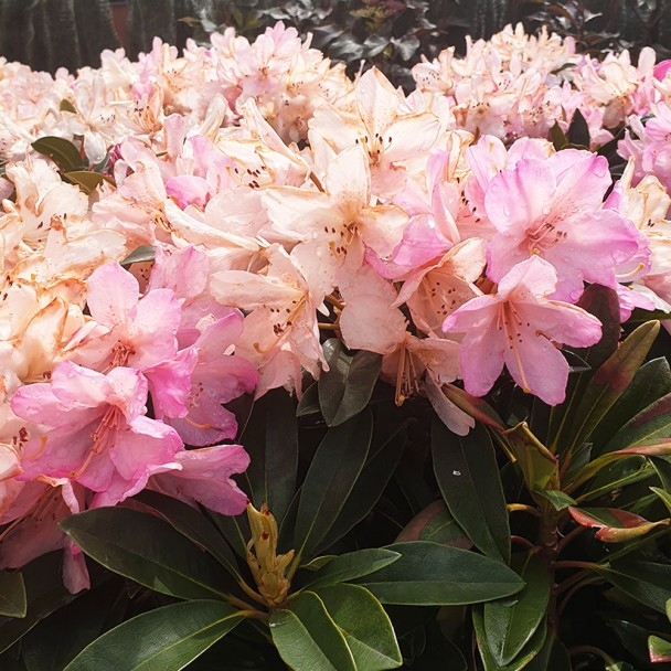 Rhododendron Percy Wisemann
