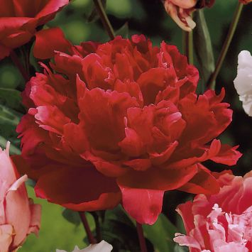 Pfingstrose 'Karl Rosenfield', rot