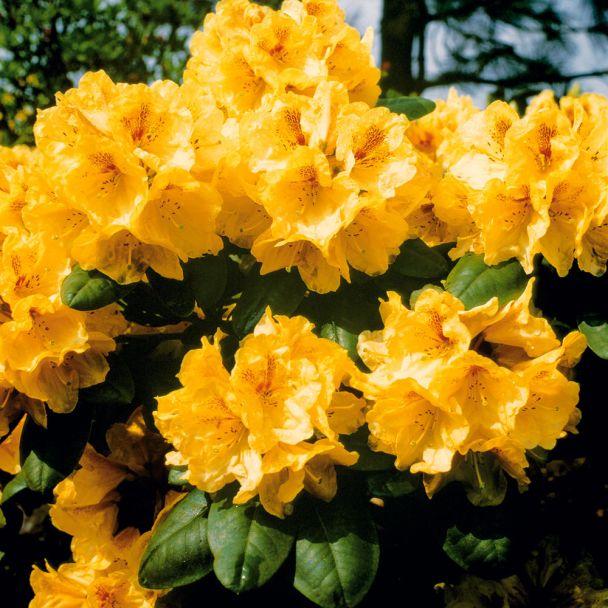 Rhododendron 'Gold-Bukett', Cremegelb