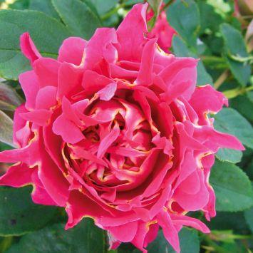 Ruffles Rose Joy