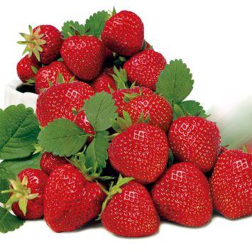Edel-Erdbeere 'Elsanta', mittelfrüh Setzlinge