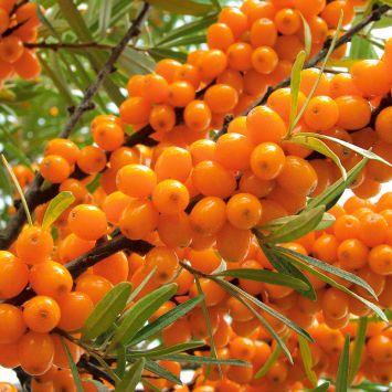 Winterfrucht 'Oranje Power', männliche Pflanze