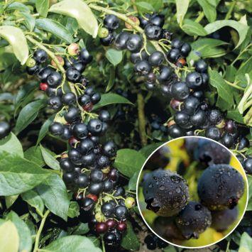 KiJo Beere® 'Blacky' - Schwarze Heidelbeere