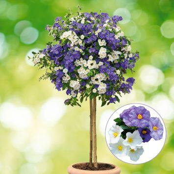 Enzianbaum 'BlancBleu'
